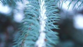 Primo piano del ramo attillato blu con neve Albero sempreverde coperto di neve nell'inverno Primo piano degli aghi taglienti graz archivi video