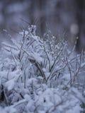 Primo piano del ramo dell'abete di inverno Fotografia Stock Libera da Diritti