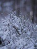 Primo piano del ramo dell'abete di inverno Immagini Stock