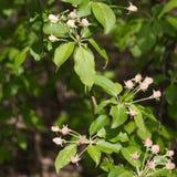 Primo piano del ramo di melo con i germogli di fiore presto in primavera Fotografia Stock