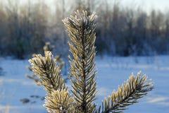 Primo piano del ramo del pino Fotografia Stock Libera da Diritti