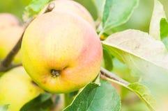 Primo piano del ramo rosso della mela come agricoltura di eco Immagine Stock