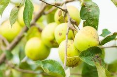 Primo piano del ramo verde della mela come agricoltura di eco Fotografie Stock Libere da Diritti