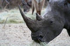 Primo piano del rinoceronte Immagine Stock