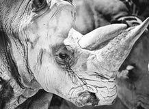 Primo piano del rinoceronte (simum del Ceratotherium) Immagini Stock Libere da Diritti