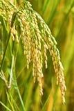 Primo piano del riso Immagini Stock Libere da Diritti