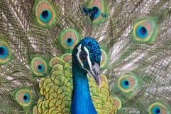 Primo piano del ritratto del pavone fotografia stock libera da diritti