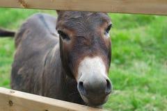Primo piano del ritratto dell'asino nell'ambito di agricoltura rurale del paese dell'erba verde di recinzione del recinto Immagini Stock Libere da Diritti