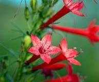 Primo piano del rubra diritto di ipomopsis del cipresso con i suoi fiori tubolari rossi e bianchi luminosi immagine stock libera da diritti