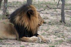 Primo piano del ` s del leone nella savanna Immagini Stock