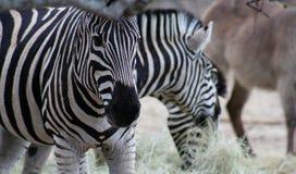 Primo piano del ` s della zebra nella savanna Immagine Stock