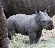 Primo piano del ` s di rinoceronte del bambino nella savanna Immagine Stock Libera da Diritti