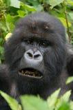 Primo piano del silverback maschio che mostra i denti neri Fotografia Stock