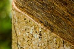Primo piano del succo dell'albero di gomma Fotografie Stock Libere da Diritti
