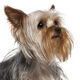 Primo piano del Terrier di Yorkshire, 1 anno Fotografia Stock