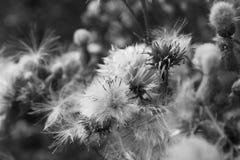 Primo piano del Thistledown con lanugine, in bianco e nero immagini stock