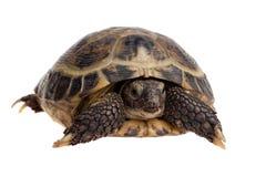 Primo piano del Tortoise Fotografia Stock Libera da Diritti