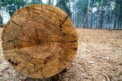 Primo piano del tronco di albero tagliato con i dettagli dell'anello annuale sulla superficie nella foresta 1 del pino immagine stock libera da diritti