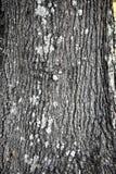 Primo piano del tronco di quercia Immagine Stock Libera da Diritti