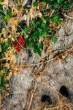 Primo piano del tronco di un albero delle olive Oliveti ed il Gard Immagini Stock