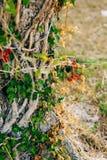Primo piano del tronco di un albero delle olive Oliveti ed il Gard Immagini Stock Libere da Diritti