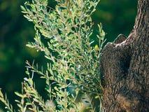 Primo piano del tronco di un albero delle olive Oliveti ed il Gard Immagine Stock