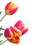 Primo piano del tulipano Immagine Stock