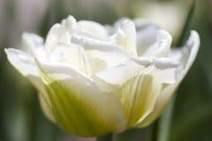 Primo piano del tulipano Fotografie Stock Libere da Diritti