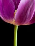 Primo piano del tulipano dentellare scuro sul nero Fotografia Stock Libera da Diritti