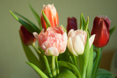 Primo piano del tulipano di Rosa Immagini Stock Libere da Diritti