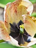 Primo piano del tulipano giallo-chiaro e rosso aperto Fotografia Stock