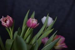 Primo piano del tulipano su fondo scuro, stile del rembrand fotografia stock