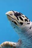 Primo piano del underwater macchiato della tartaruga Immagini Stock Libere da Diritti