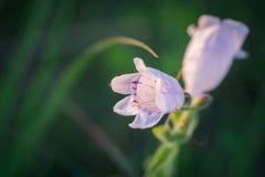 Primo piano del wildflower di Beardtongue fotografia stock libera da diritti