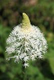 Primo piano del Wildflower di Beargrass immagine stock