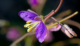 Primo piano del Wildflower porpora con lo stame giallo luminoso Fotografia Stock