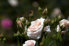 Primo piano delicato della rosa di bianco con un'ape Immagini Stock
