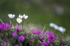 Primo piano dell'acceso di dai fiori bianchi piacevoli del sole sugli alti gambi con dieci fotografia stock libera da diritti