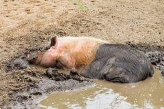Primo piano dell'acqua del fango del maiale Fotografia Stock Libera da Diritti