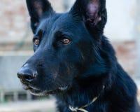 Primo piano dell'adulto del ritratto tedesco nero del cane della razza immagini stock libere da diritti
