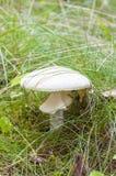 Primo piano dell'agarico di mosca bianco in erba Fotografia Stock Libera da Diritti