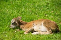 Primo piano dell'agnello di Heidschnucke Immagini Stock
