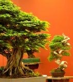 Primo piano dell'albero dei bonsai con fondo rosso 2 fotografie stock
