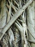 Primo piano dell'albero di banyan Immagini Stock