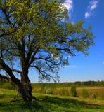 Primo piano dell'albero di quercia. Fotografia Stock