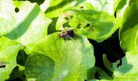 Primo piano dell'allevamento nero della mosca comune sulla foglia verde Fotografie Stock