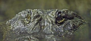 Primo piano dell'alligatore Fotografia Stock Libera da Diritti