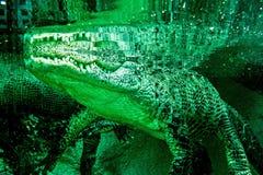 Primo piano dell'alligatore all'acquario dello zoo Fotografie Stock