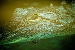 Primo piano dell'alligatore all'acquario dello zoo Fotografia Stock Libera da Diritti