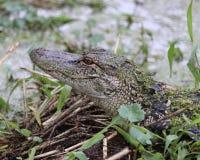 Primo piano dell'alligatore americano Fotografia Stock Libera da Diritti
